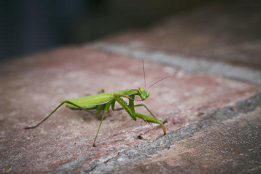 Praying Mantis, European, Insect, Close Up, Macro