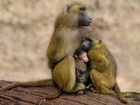 Animal World, Monkey, Baboon, Family, Protection