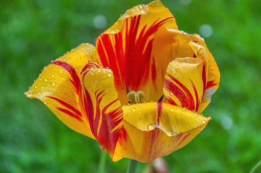 Tulip, Fade, Bi Color, Yellow, Red, Rain, Drip