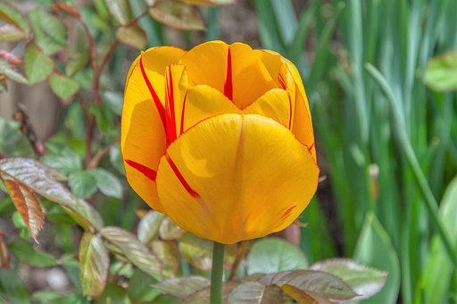 Tulip, Spring Flower, Bi Color, Yellow, Red