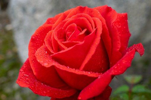 Red Rose, Raindrop, Romantic, Macro, Close Up, Petals