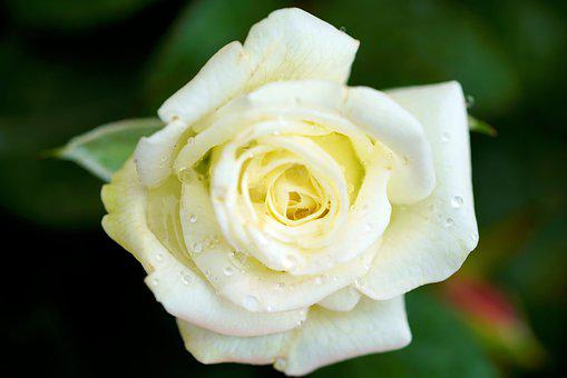 Romance, Rose, Love, Red Rose, Beautiful, White
