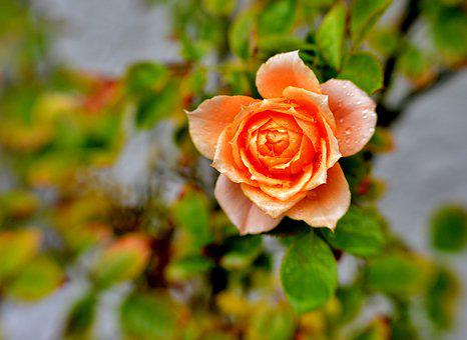 Rose, Petals, Raindrops, Flower, Pink, Love, Roses