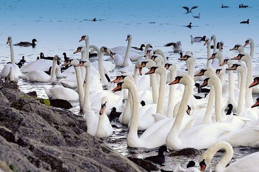 Swan, White, Animal, Group, Birds, Seagull, Waterfowl