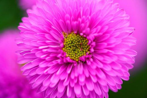 Chrysanthemum, Flowers, Nature, Plants, Bee, Spring
