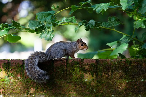 Grey Squirrel, Squirrel Watching, Squirrel On Wall