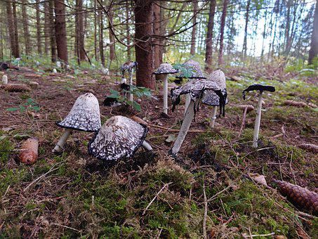 Mushroom, Mushrooms, Tintenpilz, Moss, Autumn, Nature