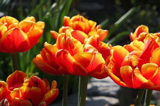 Tulips, Red Yellow, Spring, Nature, Garden, Flowers