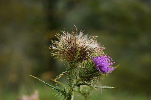 Thistle, Grass, Flowers, Plants, Flower, Summer, Violet
