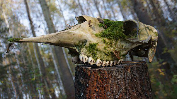 Skull, Bone, Head, Animals, Anatomy, Teeth