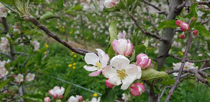 Apple Tree Blossom, Macro, April, Spring, South Tyrol