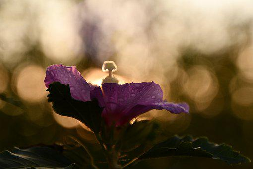 Mallow, Sunset, Autumn, Purple, Rain, Flower, Blooms At