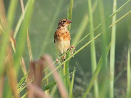 Baya Weaver, Wild, Bird, Small, Cute, Wildlife, Perch