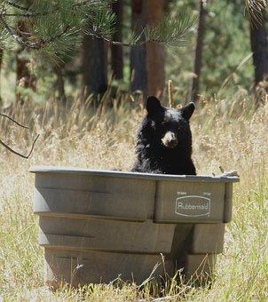 Bear Bathing In Horse Tank, Bear Enjoying A Bath