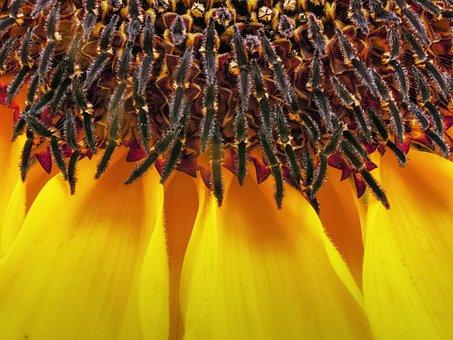 Sunflower, Nature, Yellow, Plant, Flower, Beautiful