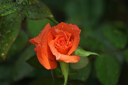 Rose, Rosa, Orange, Flower, Bloom, Bud, Light, Shadow