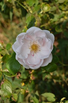 White, Rose, Flowers, Nature, Pink, Plant, Blossom