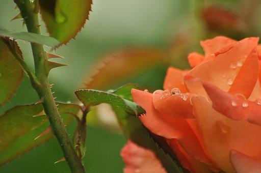 Spikes, Barb, Rose, Drop, Water, Flower, Bush, Stem