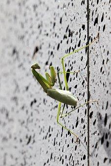 Mantis, Insects, Nature, Green, Animal, Macro, Close