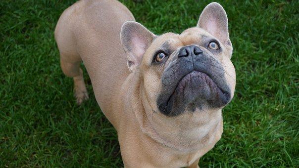 French Bulldog, Iris, Eyes, Shining, Expectant, Dog