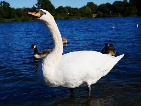 Swan, Bird, Animal, Water, White, Blue, Duck, Lake