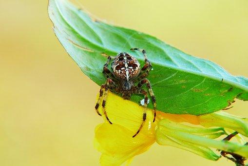 Crusader Garden, Female, Spider, Leaf, Flower, Insect
