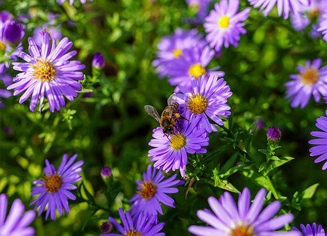 Bee, Garden, Flowers, Purple