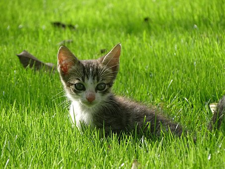 Cat, Kitten, Grass, Animal, Cute, Pet, Adorable, Kitty