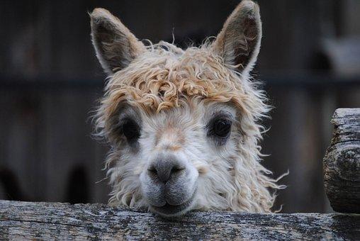 Alpaca, Llama, Animal, Lama, Head, Hair, Fur, Portrait