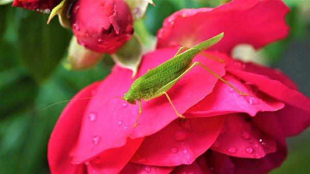 Grasshopper, Heupferdchen, Viridissima, Insect
