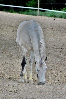 Horse, Animal, Mammal, White, Equine, Mane