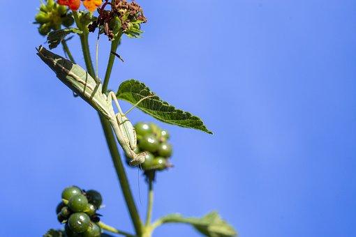 Insect, Nature, Mantidae, Animal, Invertebrates
