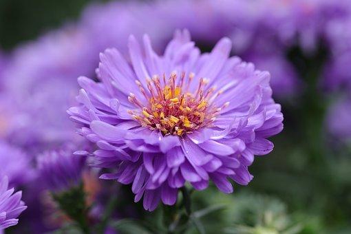 Aster, Flowers, Autumn, Flora, Stamens, Purple, Lilac
