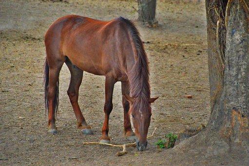 Horse, Animal, Mammal, Brown, Equine, Mane