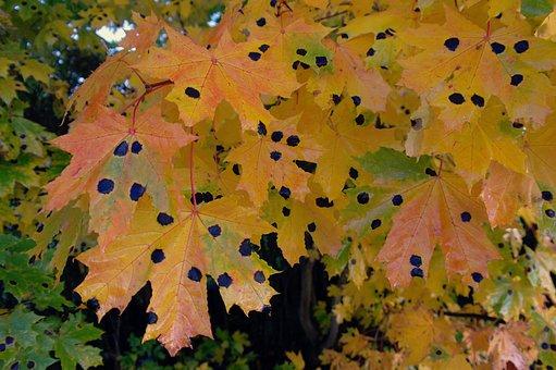Leaf, Yellow, Black, Autumn, Leaf Fall, Maple