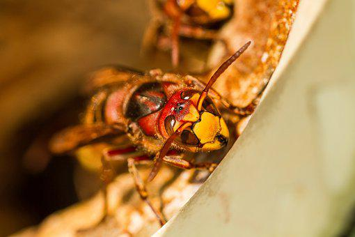 Hornet, Summer, Bee, Insect, Close Up, Mood