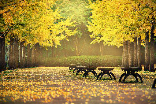 Autumn Leaves, Autumn, Ginkgo, The Leaves, Nature
