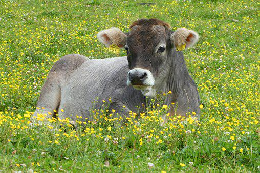 Cow, Pasture, Austria, Grass, Mammal, Nature, Cattle