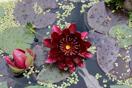 Water Lily, Rose, Pond, Nature, Plant, Flower