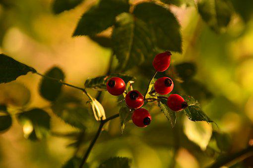 Rosehips, Brian, Shadow, Autumn, Nature, Roses, Red