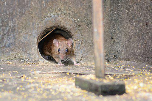 Mouse, Rat, Rodent, Animal, Pest, Cute, Creature, Small