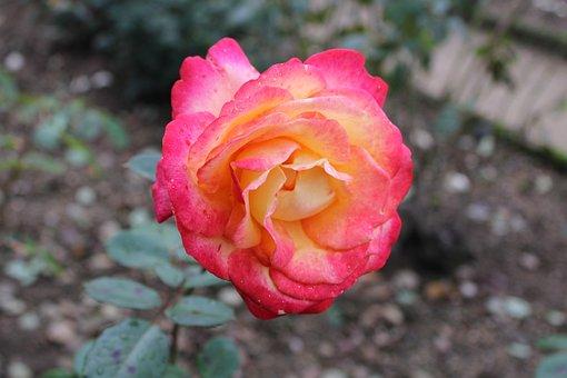 Rose, Flower, Blossom, Bloom, Nature, Red, Romantic