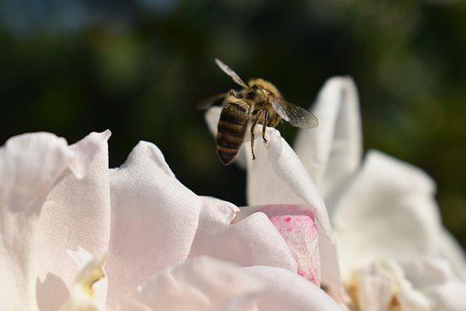 Bee, Rose, Flower, Blossom, Bloom, Nature, Garden