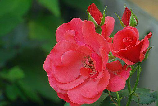 Roses, Red, The Buds, Flowers, Garden, The Petals