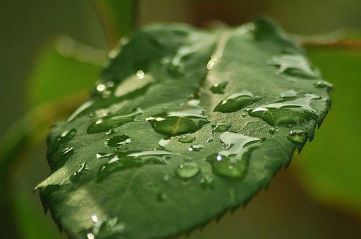 Sheet, Wet, Water, Drop, Rain, Summer, Green, Rose