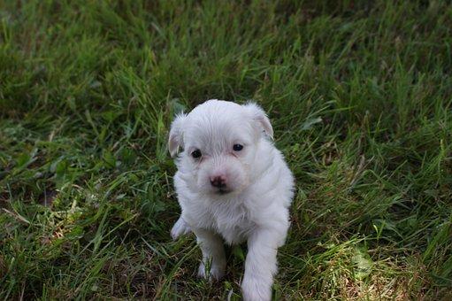Puppy, Baby, Dog, Cute, Animals, Small, Mammals
