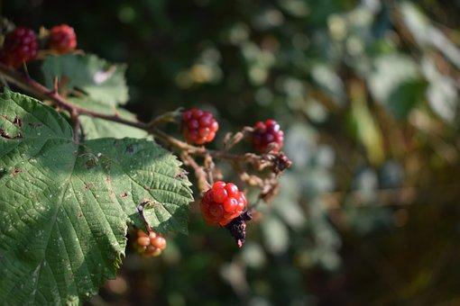 Berries, Raspberries, Spur, Leaves, Fresh, Fruits, Red