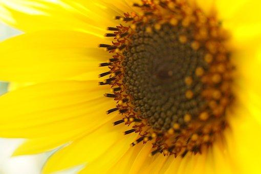 Sunflower, Macro, Blossom, Bloom, Plant, Nature, Yellow