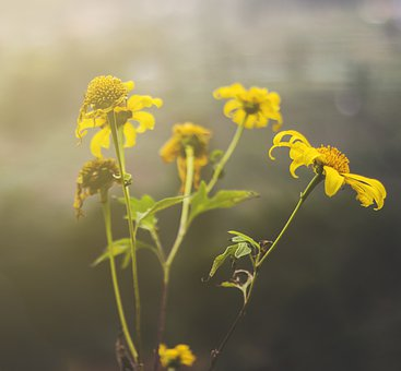 Flowers, Yellow, Sunflower, Nature, Bloom, Blossom