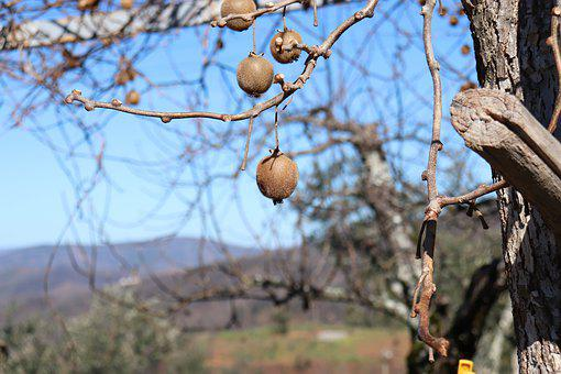 Fruit, Tree, Nature, Kiwi, Fresh, Country, Countryside